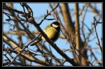 Parus major  - Pitigoi by RichardConstantinoff