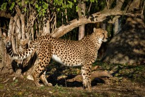 cheetah571 by redbeard31