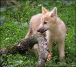 Baby arctic wolf: North star by woxys