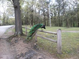 Peacock on the fence by Sheighness