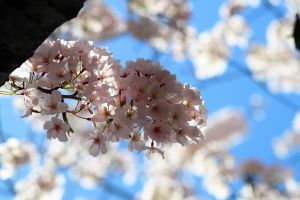Cherry Blossom by quinonesanibal