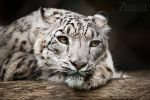 Snow Leopard II by TaGiRoCkS
