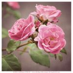 Nana's Wild Pink Roses by fluffyvolkswagen