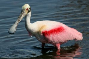 Wading Spoonbill by Kippenwolf