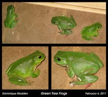 Green Tree Frogs by DomiSM