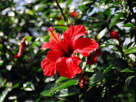 Hibiscus by troll12