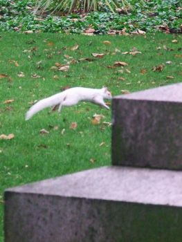 Albino Squirrel bounding by SymphonyOfSolace