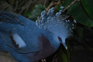 victoria crowned pigeon 5.1 by meihua-stock