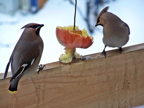Waxwings by ouden52