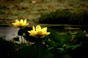 Water Lilies by zieora
