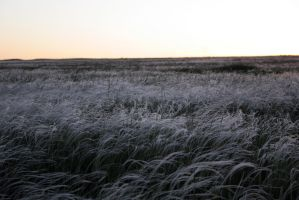 Feather grass in bloom stock #5 by croicroga