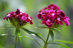 carnations in the garden by SvitakovaEva