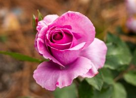 Rose by ARC-Photographic
