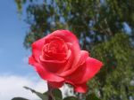 Sky-High Rose 2 by DreamsWithinMe