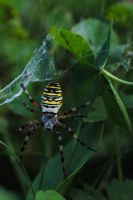 wasp spider by MesmerizedByNature