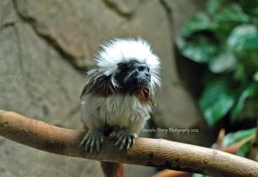 Cotton-Top Tamarin by MorrighanGW