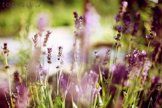 lavender by topinka