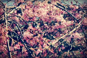 Spring Blossom by LauraLeeIlly
