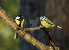 great tit and blue tit by darmit11