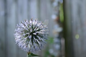Thistle by Newt471