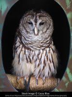 Barred Owl Stock by Cassy-Blue