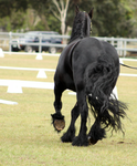 FR Friesian trotting from behind by Chunga-Stock
