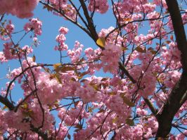 japanese cherry tree by adorell