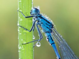 Damselfly by Pete1987