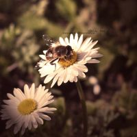 .daisy bee. by Dance-Macabre