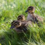 Ducklings by SarahharaS1