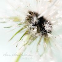dandelion in the rain IV by amsterdam-jazz