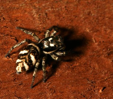 Jumping Spider by spitfire900