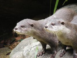 Otters by 23408