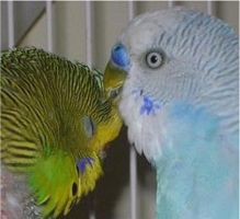 My Budgies by Colliequest