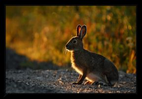 An Autumn Hare by tisbone