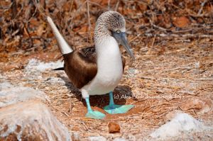 Male Blue Footed Booby by Algo-Blade