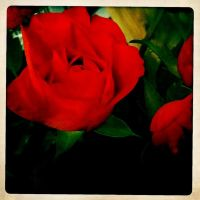 My ten red roses by susanneloland