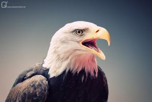 Sea Eagle Portrait by blickfangQ2