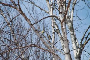 Gold Finches are a good sign spring has arrived by tdogg115