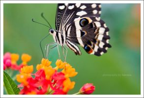 butterfly by haeresis