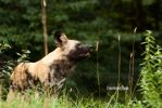 African Dog-1 by Evanescent-Chaos