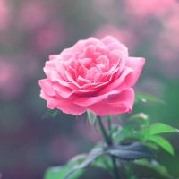 Pink by Alyss6