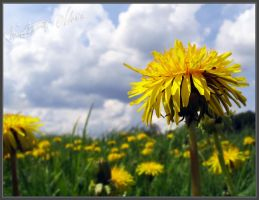 YELLOW DANDELION by Mirlenges