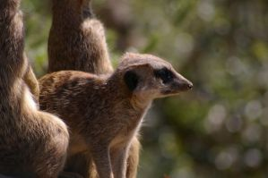 Meerkats III by expression-stock