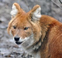 Dhole by Wild-Soul