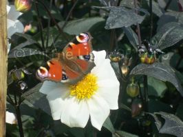 Butterfly On Dahlia 2 by KillTheLights98