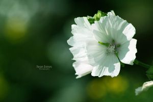 White Flower by Jonesy00
