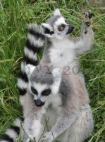 Ring-Tailed Lemur_02 by Tebyx
