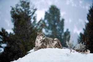 Snow Leopard 11 by catman-suha