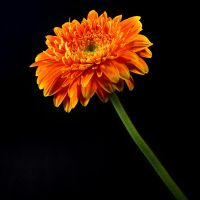 flower 15_Daisy - Stock by Inadesign-Stock